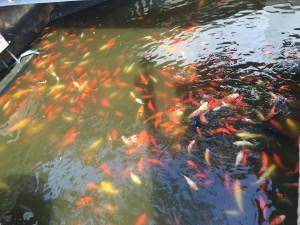 Koi Fish Yu Garden