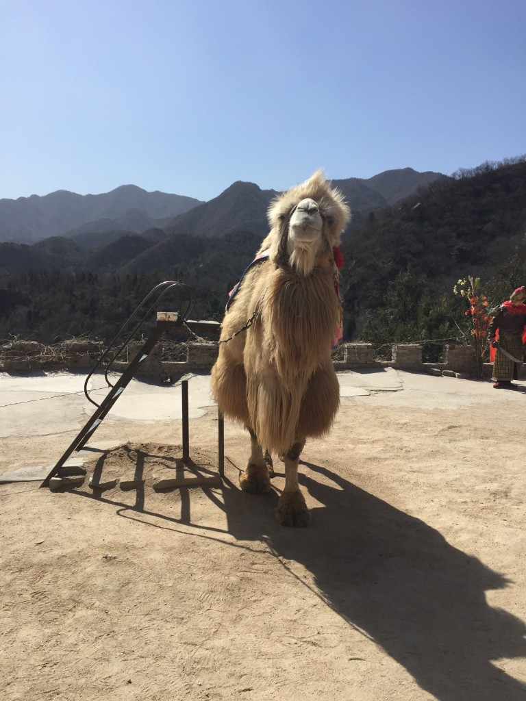 The Great Wall Camel