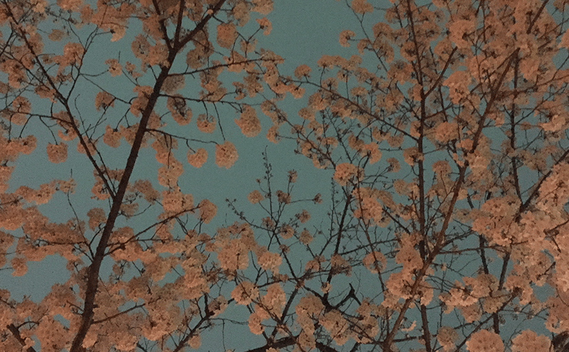 Cherry-blossoms-featured-image