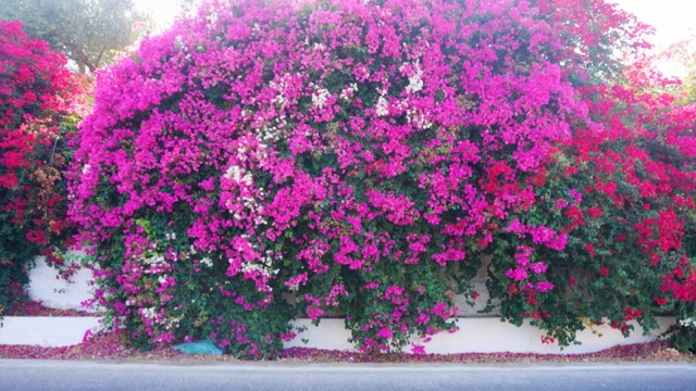 Found a this bougainvillea wall on the drive
